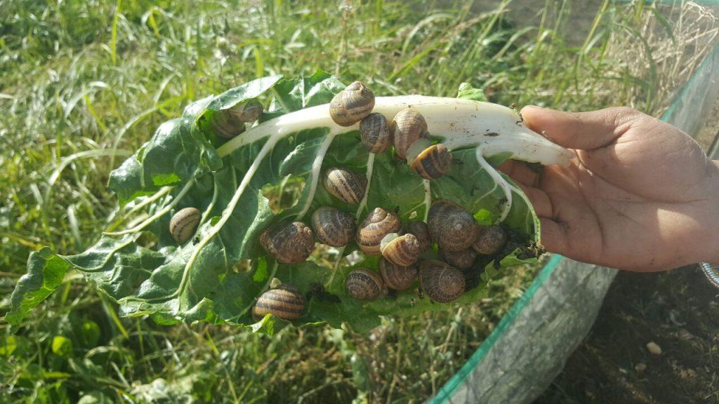 snail farm Mediterranean